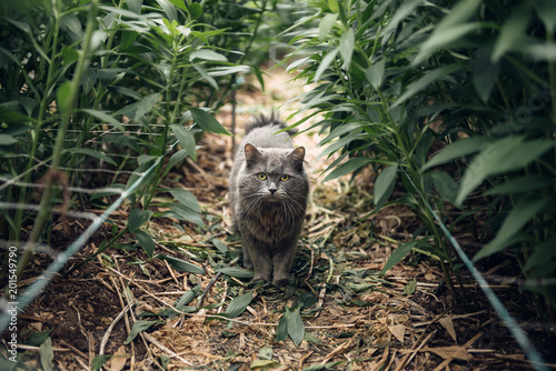 Foto Murales Portrait of a cat staring at camera. Gray beautiful fluffy cat in the grass