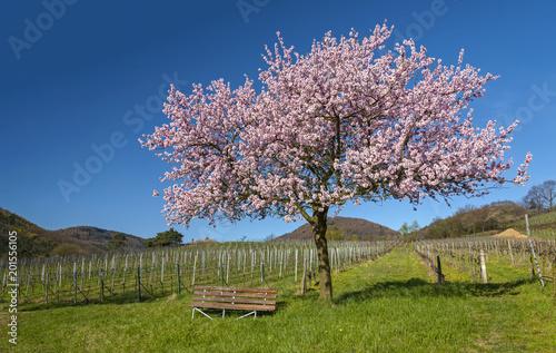 Leinwanddruck Bild Frühling in der Südpfalz