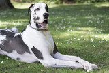 Sophisticated harlequin great dane dog with his paws crossed at green grass park.