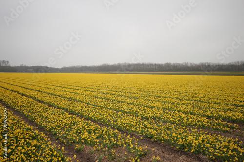 Żonkile w polu w okolicy Lisse w pobliżu Keukenhof, słynącej z kolorowych pól wiosną w Holandii