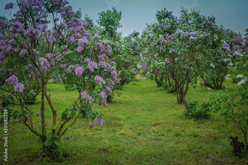 Lilac alley in a garden. Lilac Garden with blossom lilac - a favorite place of rest of people. Lilac Delight in Dobele, Latvia.