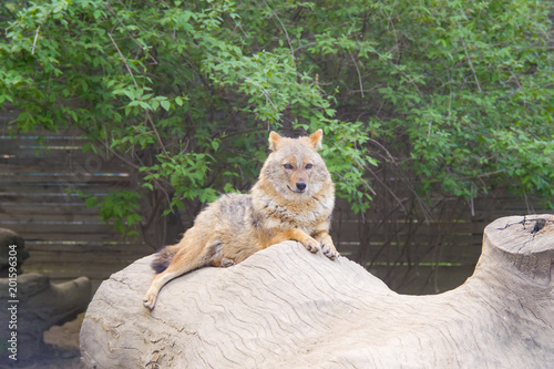 Foto Murales Coyote resting and looking