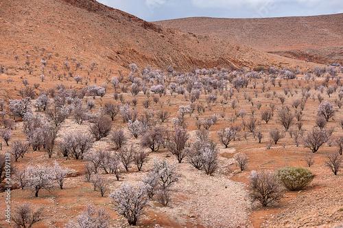 Plexiglas Zalm mandorli in fiore in una valle desertica