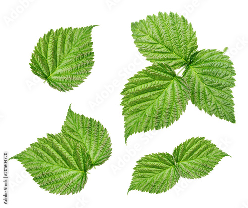 Raspberry leaves isolated on white background - 201604770