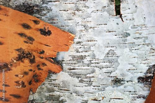Birch bark as a background - 201610946