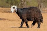Arabian Nadji - domestic sheep breed of the Najd region of the Arabian Peninsula. - 201612958