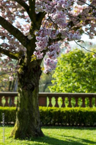 garten frankfurt, kirschbaum im garten des standesamt höchst in frankfurt am main, Design ideen