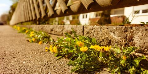 Löwenzahn Blüte gelb an Mauer und Zaun Vorgarten
