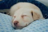 Cucciolo dorme - 201627526