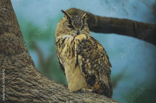 Beautiful bird owl (Bubo bubo) on a tree branch