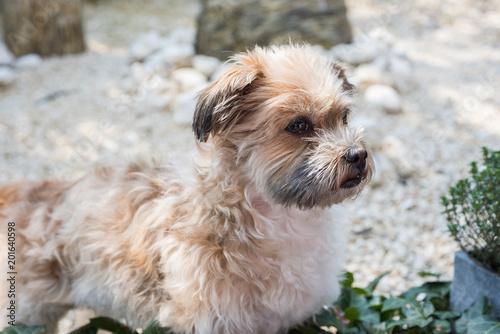 Foto Murales Shorky, ShiTzu Yorkshire Terrier Mischling aufmerksam im Garten