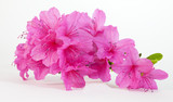 Isolated pink spring azaleas blooms.