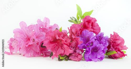 Fotobehang Azalea Isolated pink, red, and purple spring azalea blooms.