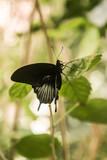 Fototapety Große, schöne, elegante, bunte, tropische Schmetterlinge in natürlichem Lebensraum mit Tropenpflanzen und Orchideen