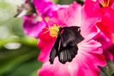 Fototapety wunderschöne, bunte, elegante, tropische Schmetterlinge in natürlicher Umgebung mit duftenden, tropischen Blumen
