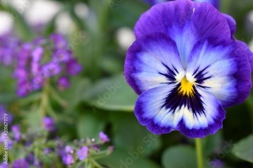 purple pansy and violets macro