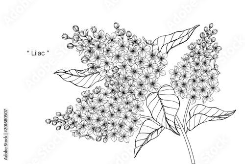 Lilac flower drawing illustration.