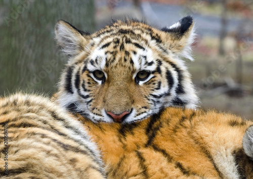 Śliczne tygrysiątko