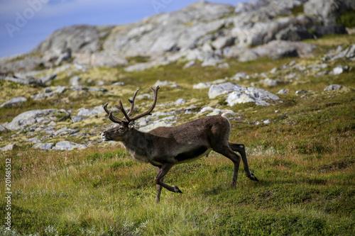 Foto Murales Reindeer in mountain