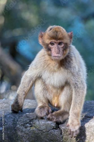 Foto Murales Portrait of an Ape