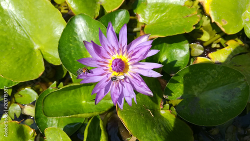 purple water lilly with bee.
