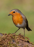 European robin (Erithacus rubecula) perched in a branch with moss in summer with natural green background - 201756583