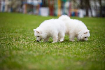White Samoyed Puppy Dog