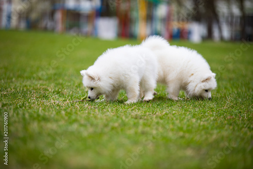 White Samoyed Puppy Dog