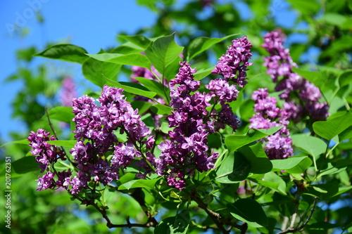 Flieder, Syringa vulgaris,