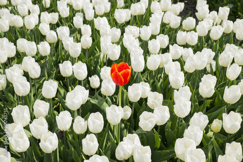 one red tulip in white field