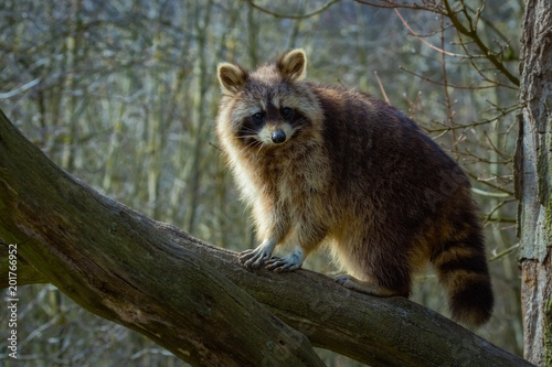 Waschbär klettert auf einen Baum Poster