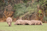group of rhinos lying down and one of them eating grass - 201773903