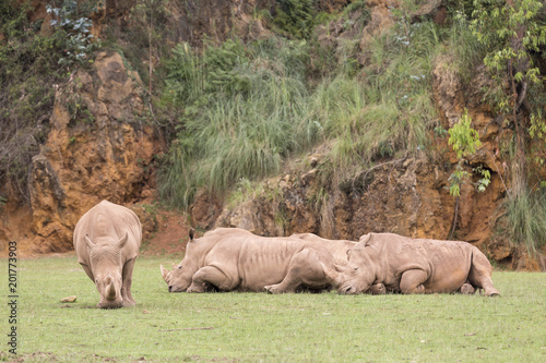 Fotobehang Neushoorn group of rhinos lying down and one of them eating grass