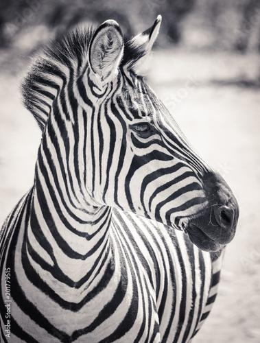 portret-zebry-w-kolorze-czarno-bialym