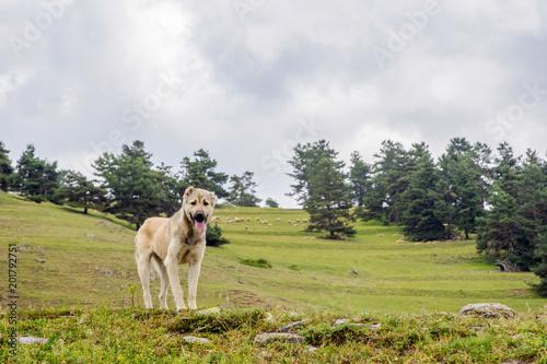 Shepherd dog, Tusheti