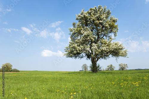 Foto Murales Frühling, blühender Obstbaum