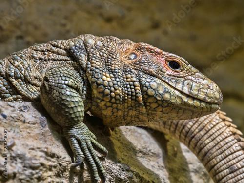 Fototapeta Caiman Lizard Dracena guianensis, a mighty lizard