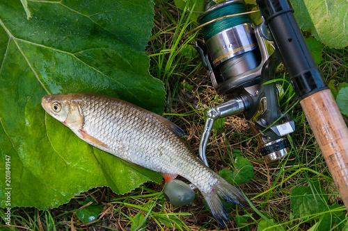 Widok Europejska kleń ryba i połowu prącie z rolką na naturalnym tle. .