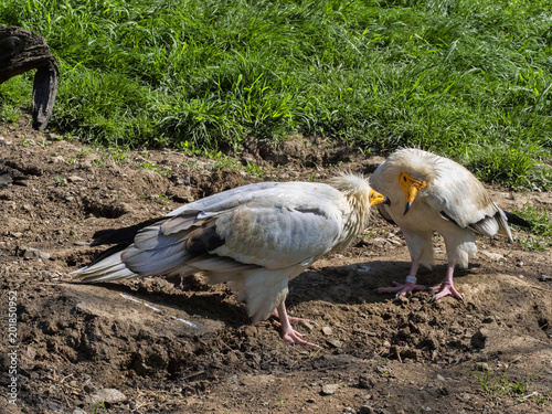 Foto Murales The Egyptian vulture, Neophron percnopterus, is a smaller crayfish bird