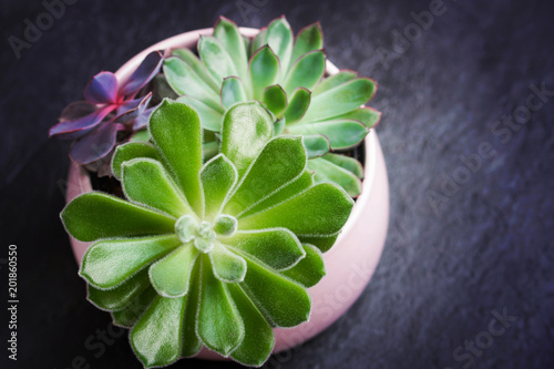 Wall mural Three type of Echeveria Succulent in a pot on black slate background. Stylish and simple plants for modern desk