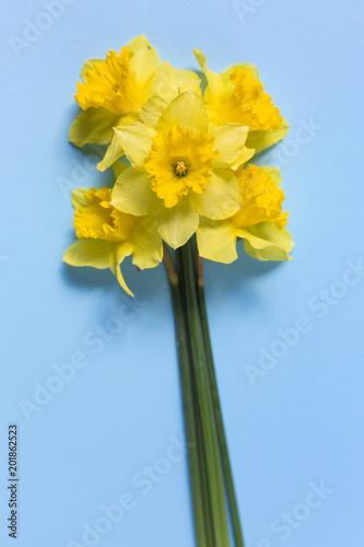 Daffodils na niebieskim tle. Wzór żółte kwiaty na niebieskim tle. Skład kwiatów. Widok z góry, miejsce na kopię, kwadrat, płaskie lay.
