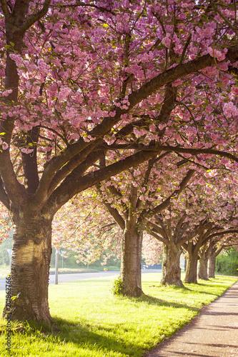 Poster Japanische Kirschblüte