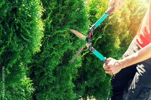 Foto Murales cutting thuja tree with garden hedge clippers