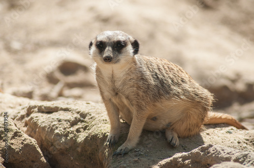 closeup of meerkat sitting on the land