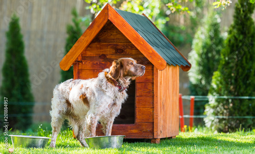 Foto Murales French Brittany Spaniel in front of his little wooden house