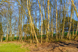 the trunks of silver birch trees  catching the sunlight on a bright spring day - 201896523