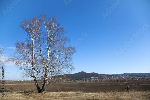 Fotobehang Berkenbos lonely birch on the edge of the field in spring