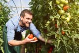 glücklicher Bauer im Gewächshaus mit reifen roten Tomaten bei der Ernte // happy farmer in a greenhouse with ripe red tomatoes at harvest time - 201915393