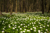 Anemone nemorosa flower in the forest in the sunny day. Wood anemone, windflower, thimbleweed. - 201916342