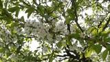 Kirschblüten mit Sonne im Frühling - 201916389